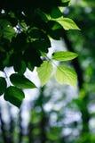 akacjowi zielone liście tło Obraz Royalty Free