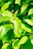akacjowi zielone liście tło Zdjęcie Stock
