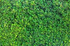 akacjowi zielone liście tło Zdjęcia Stock