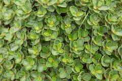 akacjowi zielone liście tło obrazy royalty free