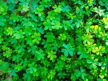 akacjowi zielone liście tło Obraz Stock