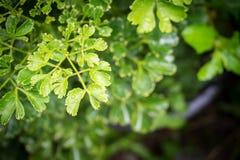 akacjowi zielone liście tło Natura i świeżość zdjęcie stock