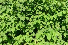 akacjowi zielone liście tło Naturalny projekta wzór Fotografia Stock