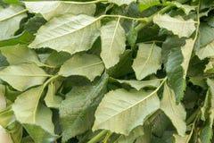 akacjowi zielone liście tło Naturalny układ robić świeży różany ulistnienia zbliżenie Zdjęcie Stock