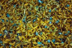 akacjowi zielone liście tło Trawy i rosy abstrakt Zdjęcie Stock