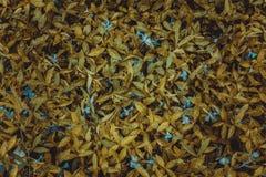 akacjowi zielone liście tło Trawy i rosy tło Zdjęcie Royalty Free