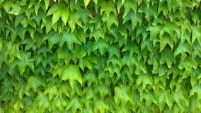 akacjowi zielone liście tło Zielony rostowy tło, zieleni liście ściana obrazy stock
