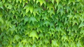 akacjowi zielone liście tło Zielony rostowy tło, zieleni liście ściana obrazy royalty free