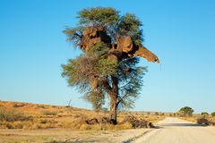 Akacjowy drzewa i tkacza gniazdeczko Zdjęcie Royalty Free