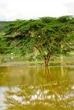Akacjowy drzewo Fotografia Royalty Free