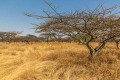 Akacjowy drzewo Zdjęcie Stock