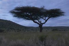 Akacjowy drzewo przy półmrokiem przy Lewa Conservancy, Kenja, Afryka Zdjęcia Stock