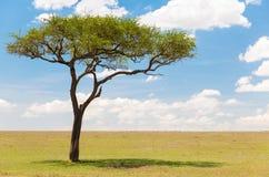 Akacjowy drzewo w afrykańskiej sawannie Obraz Stock