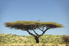 Akacjowy drzewo w Lewa Conservancy, Kenja, Afryka Zdjęcia Royalty Free