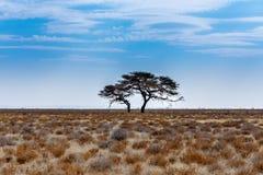 Akacjowy drzewo w równinie Afryka Obraz Royalty Free