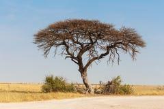 Akacjowy drzewo w równinie Afryka Zdjęcie Stock