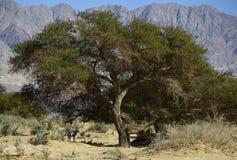 Akacjowy drzewo w rezerwacie przyrody blisko Eilat, Izrael Obrazy Royalty Free