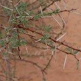 Akacjowy drzewo w saharze Zdjęcie Royalty Free