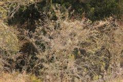 Akacjowy drzewo w suszie Fotografia Stock