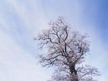 Akacjowy drzewo w zimie Obraz Royalty Free