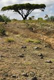 akacjowy Ethiopia drzewo zdjęcie royalty free