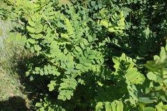 Akacjowy krzak w lato ogródzie 30942 Zdjęcie Stock