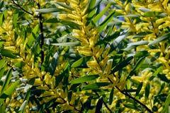 Akacjowy longifolia, akacja, Chrustowa, Sydney Złoty Chrustowy fotografia stock