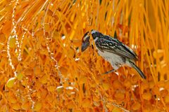 Akacjowy Pied Barbet, Tricholaema leucomelas, ptasi obsiadanie na zielonym pomara?czowym drzewku palmowym, Etosha, Namibia Przyro fotografia royalty free