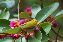 Akacjowy ptak zdjęcie stock
