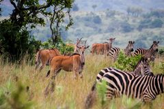 Akagera国家公园,卢旺达 库存照片
