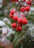 Akaimi och vinter Royaltyfria Foton