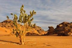 akakus calotropis山procera撒哈拉大沙漠 库存照片