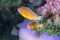 Akallopisos Anemonefish Amphiprion μεφιτίδων στο anemone θάλασσας Στοκ φωτογραφία με δικαίωμα ελεύθερης χρήσης