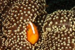 Akallopisos do Amphiprion - peixes do palhaço da jaritataca Imagem de Stock