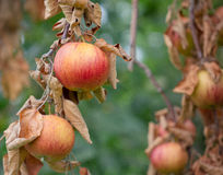 Akane Apples. A branch full of fresh apples waiting to be picked at an apple orchard Stock Image