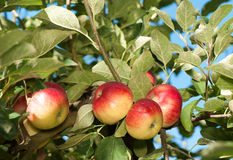 Akane Apples growing on tree Stock Image