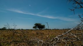 Akazie, die einen einzelnen Baum Widoro Bukol umgibt lizenzfreie stockfotos