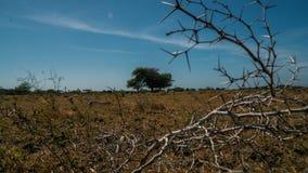 Akazie, die einen einzelnen Baum Widoro Bukol umgibt stockfotografie