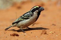 Akazie gescheckter Barbet, Kalahari-Wüste Stockbild