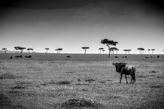 Akazien-Bäume und Gnu Masai Mara stockfotografie