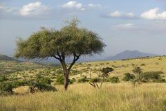 Akazien-Baum bei Sonnenuntergang an Lewa-Erhaltung, Kenia, Afrika stockfotos