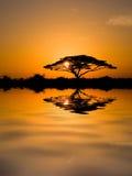 Akazien-Baum am Sonnenaufgang Stockbilder