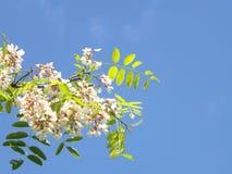 Akazien-Blüten Lizenzfreie Stockfotos