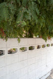 Akazienbäume leafage, das einen weißen konkreten Zaun an einem sonnigen Tag überhängt Stockfotos