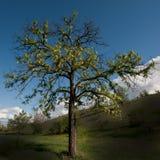 Akazienbaum lizenzfreies stockbild