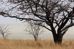 Akazienbaum auf afrikanischer Savanne Stockfoto