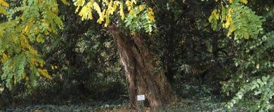 Akazienbaum im botanischen Garten dendrological Parks Macea der Bezirk Arad - Rumänien Lizenzfreie Stockbilder