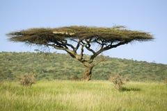 Akazienbaum im grünen Gras der Erhaltung Lewa-wild lebender Tiere, Nord-Kenia, Afrika stockbilder