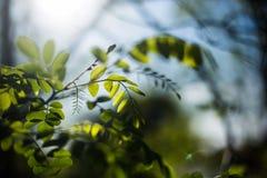 Akazienbaum, im Sonnenunterganglicht Lizenzfreies Stockfoto