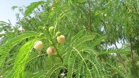 Akazienbaum mit Fruchtkörper stock video